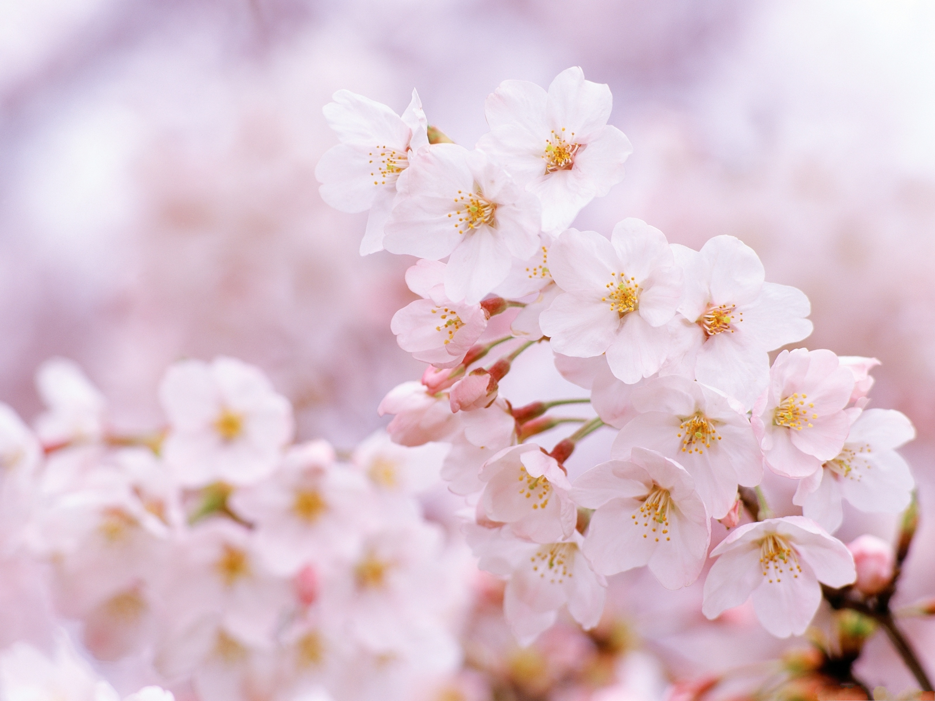 click to free download the wallpaper--Tiny Cherry Flowers, Smile in Beauty, Presenting Incredible Scene 3200X2400 free wallpaper download