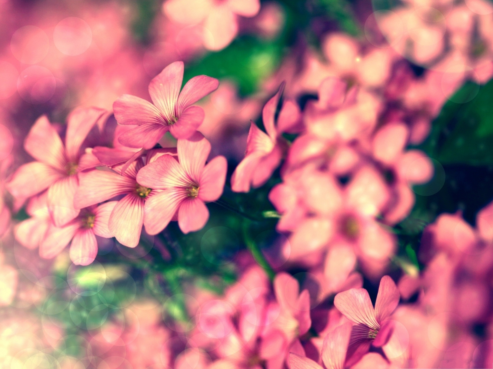 click to free download the wallpaper--Tiny Pink Flowers, Small Flowers Blooming, Green Leaves Around, Great Scenery 2048X1536 free wallpaper download