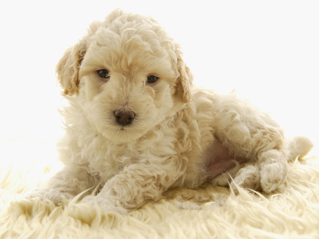 click to free download the wallpaper--Toy Poodle Pet Dog Image, Nice-Looking and Decent, Comfortably Lying 1024X768 free wallpaper download