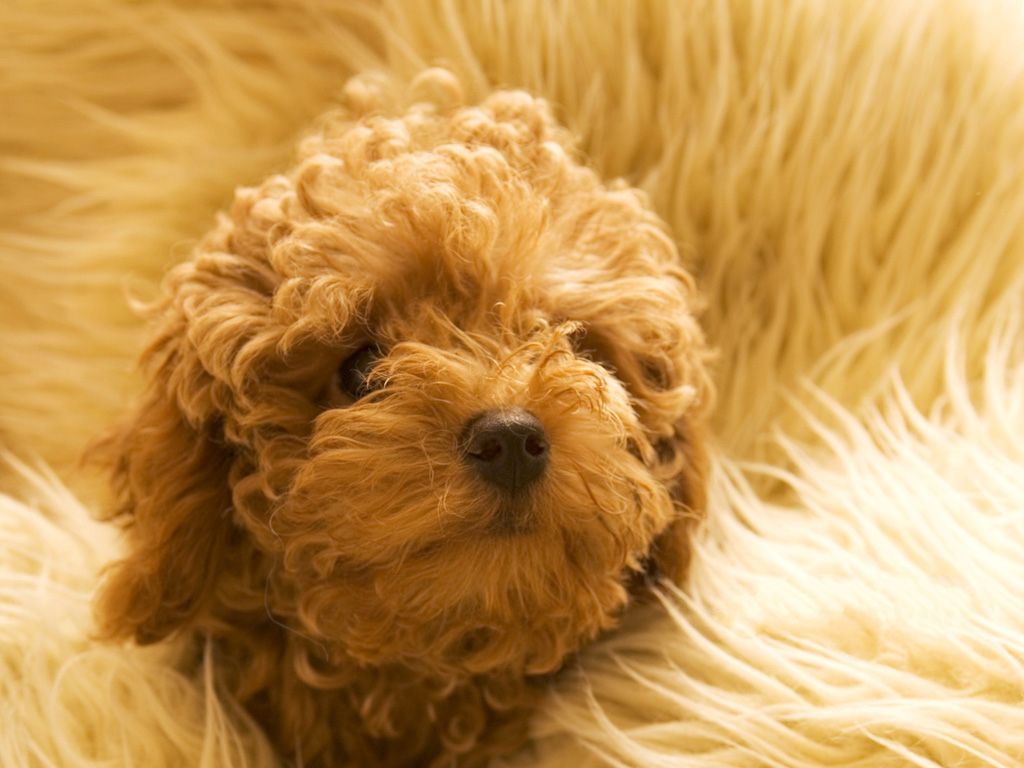 click to free download the wallpaper--Toy Poodle Picture, Fun to Look at and Play with 1024X768 free wallpaper download