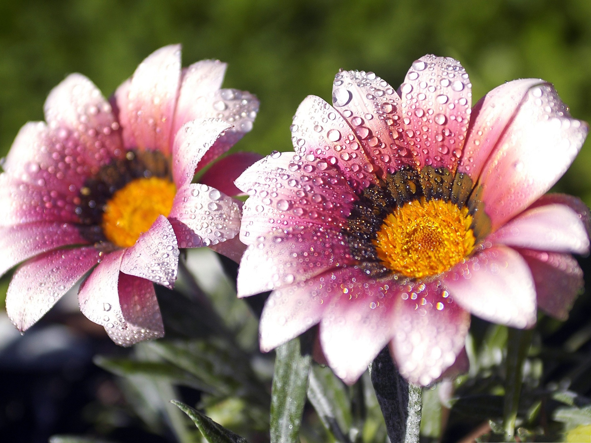 Two flowers picture beautiful flower with rain drops great scenery two flowers picture beautiful flower with rain drops great scenery 2048x1536 free wallpaper download 2048x1536 free wallpaper download free wallpaper izmirmasajfo