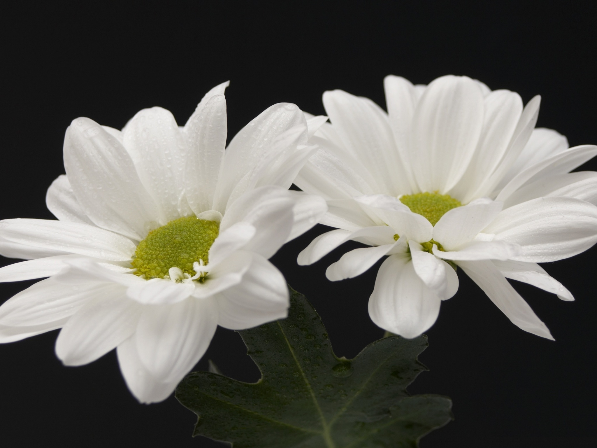 click to free download the wallpaper--Two White Flowers Image, Blooming Flowers on Black Background, Pure and Impressive Scene 2048X1536 free wallpaper download