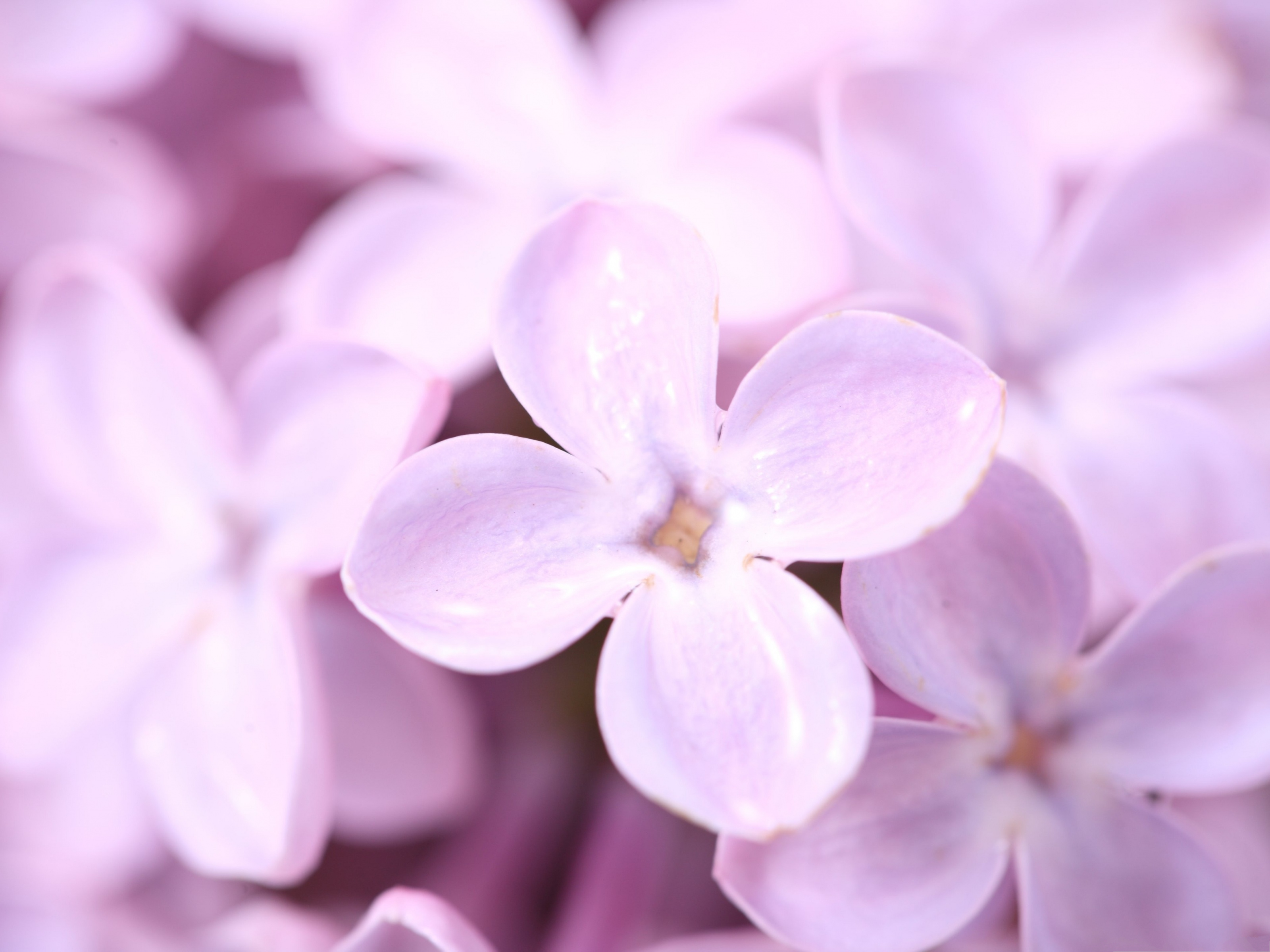 click to free download the wallpaper--Violet Lilac Flowers, Small Pink Flowers in Bloom, Rain Drops on Petals 3200X2400 free wallpaper download