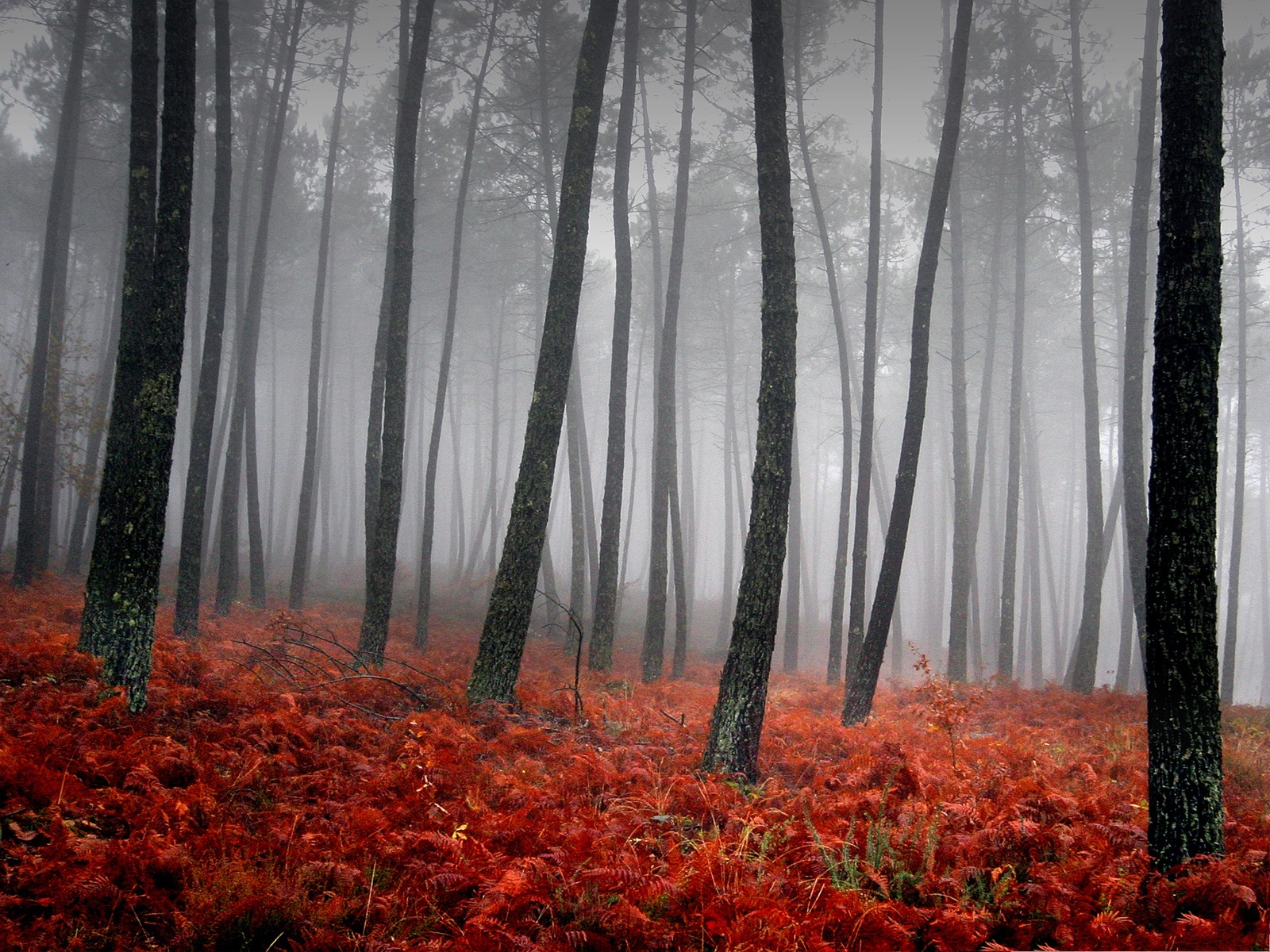 Wallpaper For Computer, Tall Black Trees In The Misty