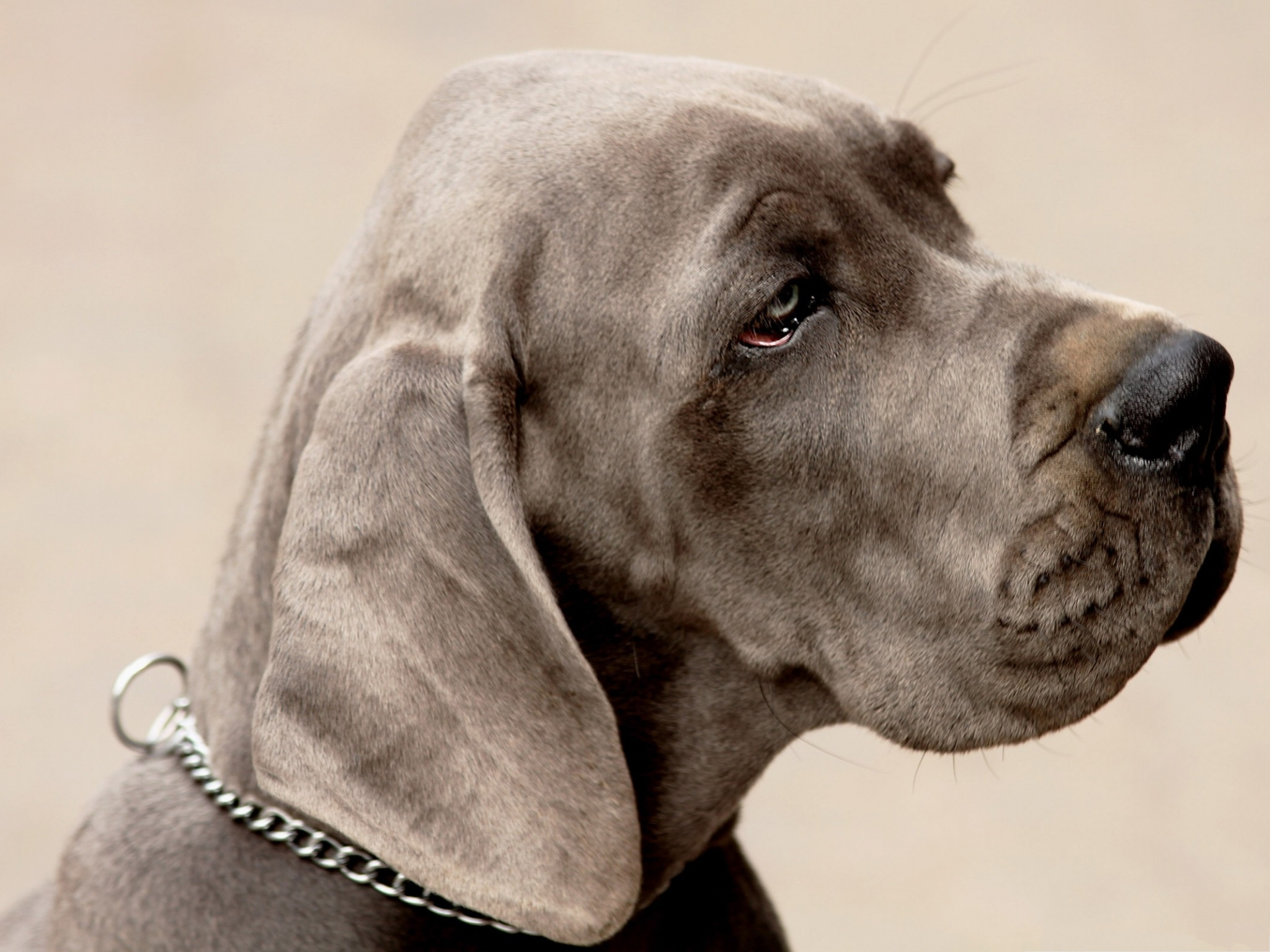 click to free download the wallpaper--Weimaraner Dog Picture, Puppy in Gloomy Look, What is Bothering You? 2048X1536 free wallpaper download