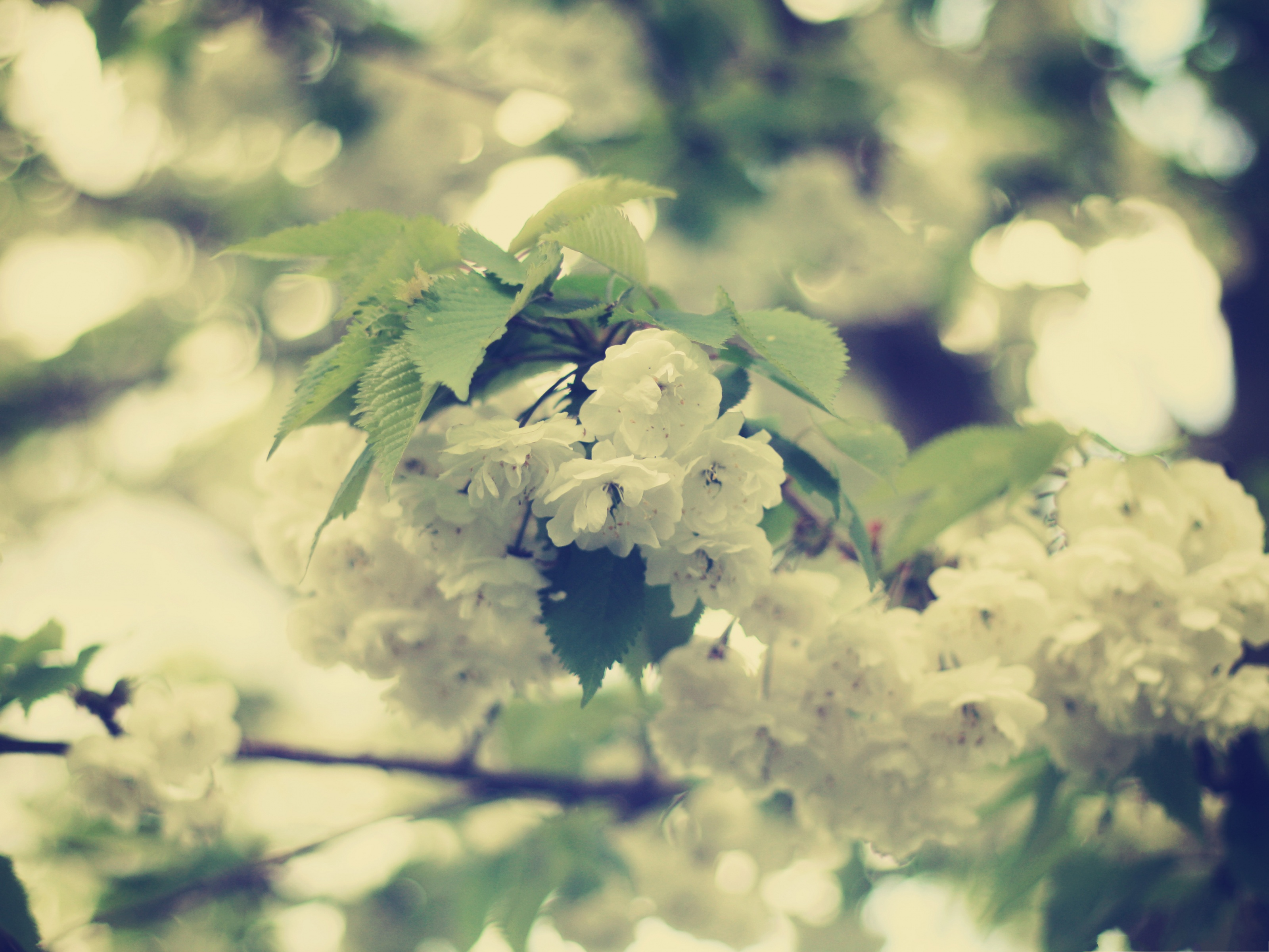 click to free download the wallpaper--White Apple Flowers, Tiny Blooming Flowers Under Green Leaves 3200X2400 free wallpaper download