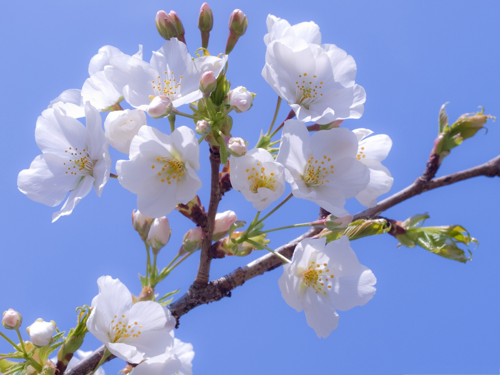 click to free download the wallpaper--White Cherry Flowers, Beautiful Flowers in Bloom, Smile in the Blue Sky 2048X1536 free wallpaper download