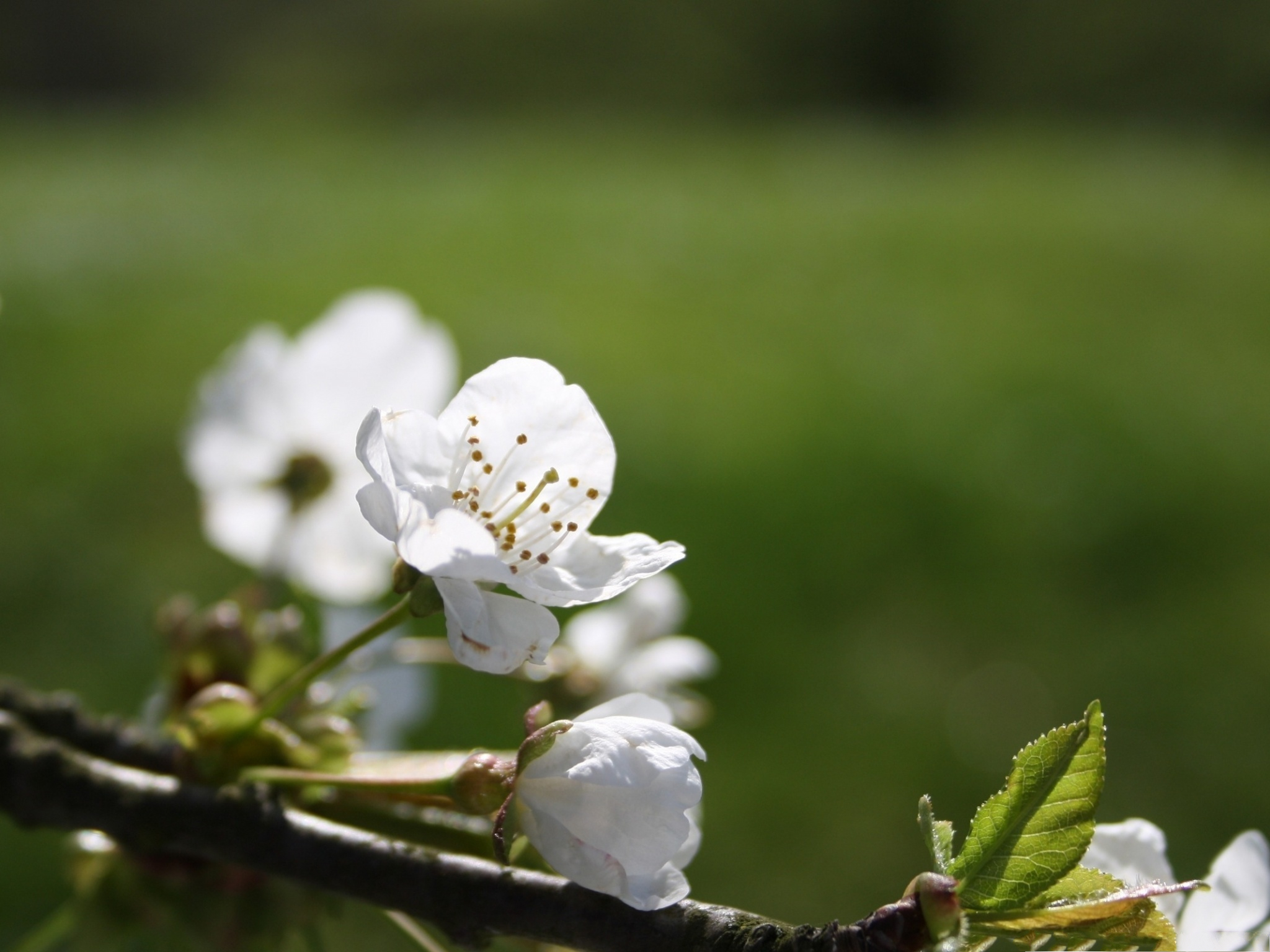 click to free download the wallpaper--White Cherry Flowers, Little Flowers in Bloom, Smile in the Sunlight 2048X1536 free wallpaper download