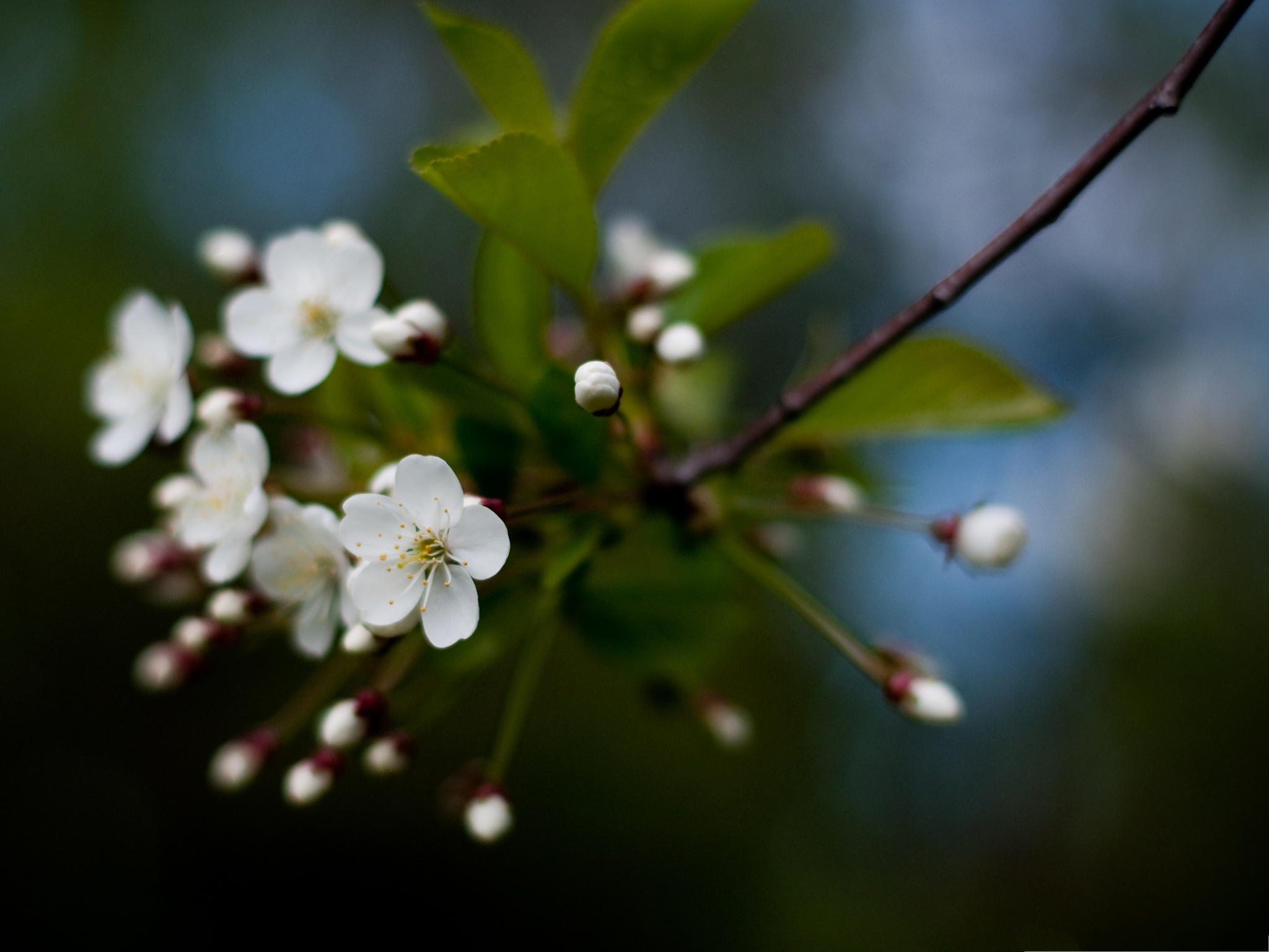 click to free download the wallpaper--White Cherry Flowers Photography, White Flowers and Green Leaves, Incredible Scene 2048X1536 free wallpaper download