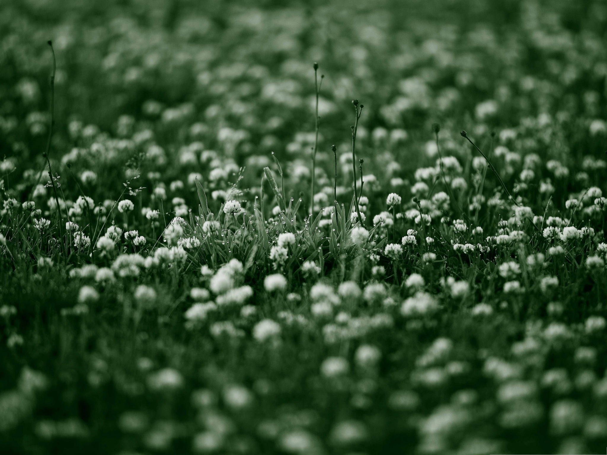 click to free download the wallpaper--White Clover Flowers, Little Blooming Flowers with Rain Drops 2048X1536 free wallpaper download