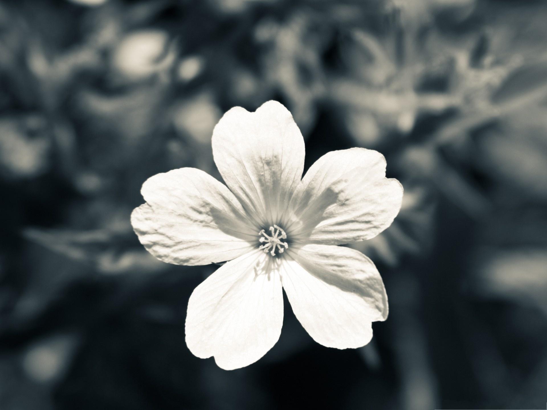 bloomed white roses wallpaper - photo #28