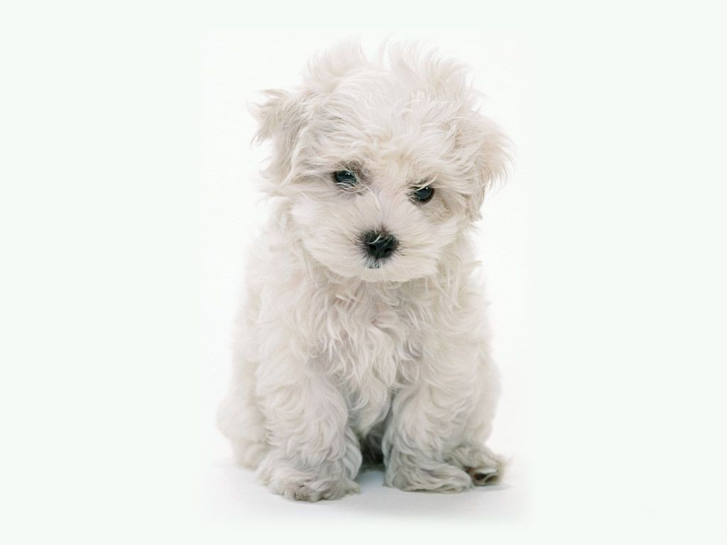 click to free download the wallpaper--White Maltese Poodle 1024X768 free wallpaper download
