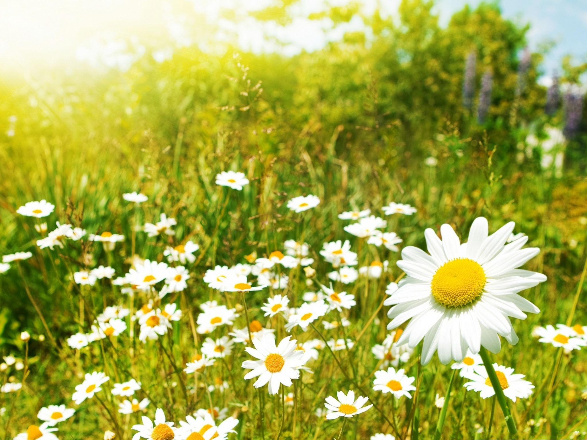 click to free download the wallpaper--Wild Flowers Pic, Small White Flowers Among Green Grass, Sunshine Pouring on  2048X1536 free wallpaper download