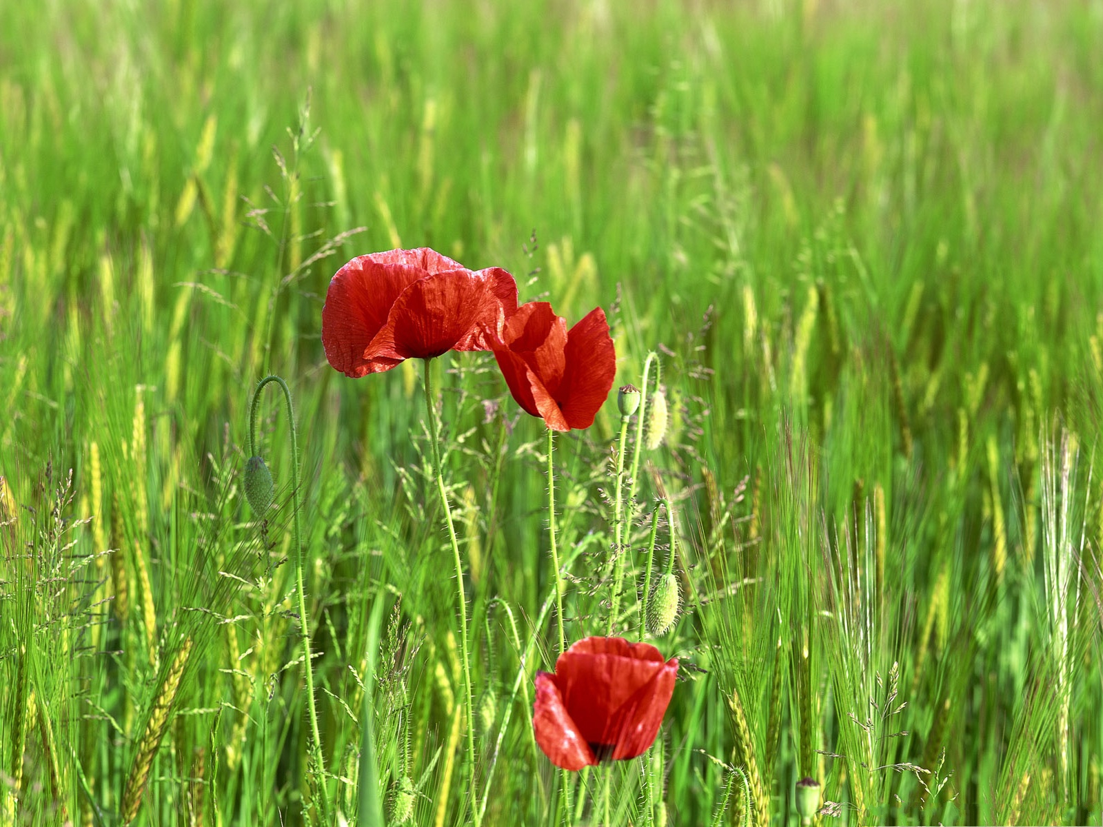 click to free download the wallpaper--Wild Poppy Flowers, Red Flower in Bloom, Green Grass Around, Gain Utmost Attention 1600X1200 free wallpaper download