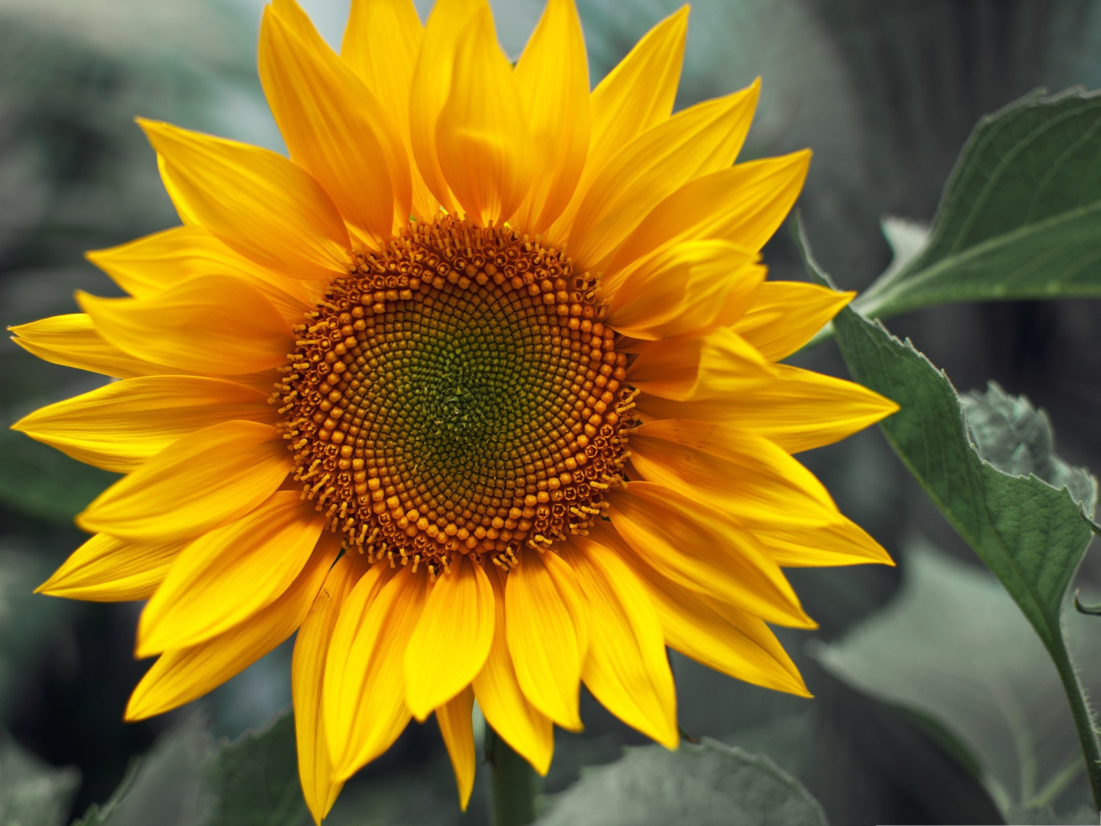 click to free download the wallpaper--Yellow Sunflower Picture, Beautiful Sunflower in Bloom, in Happy Smile 1600X1200 free wallpaper download