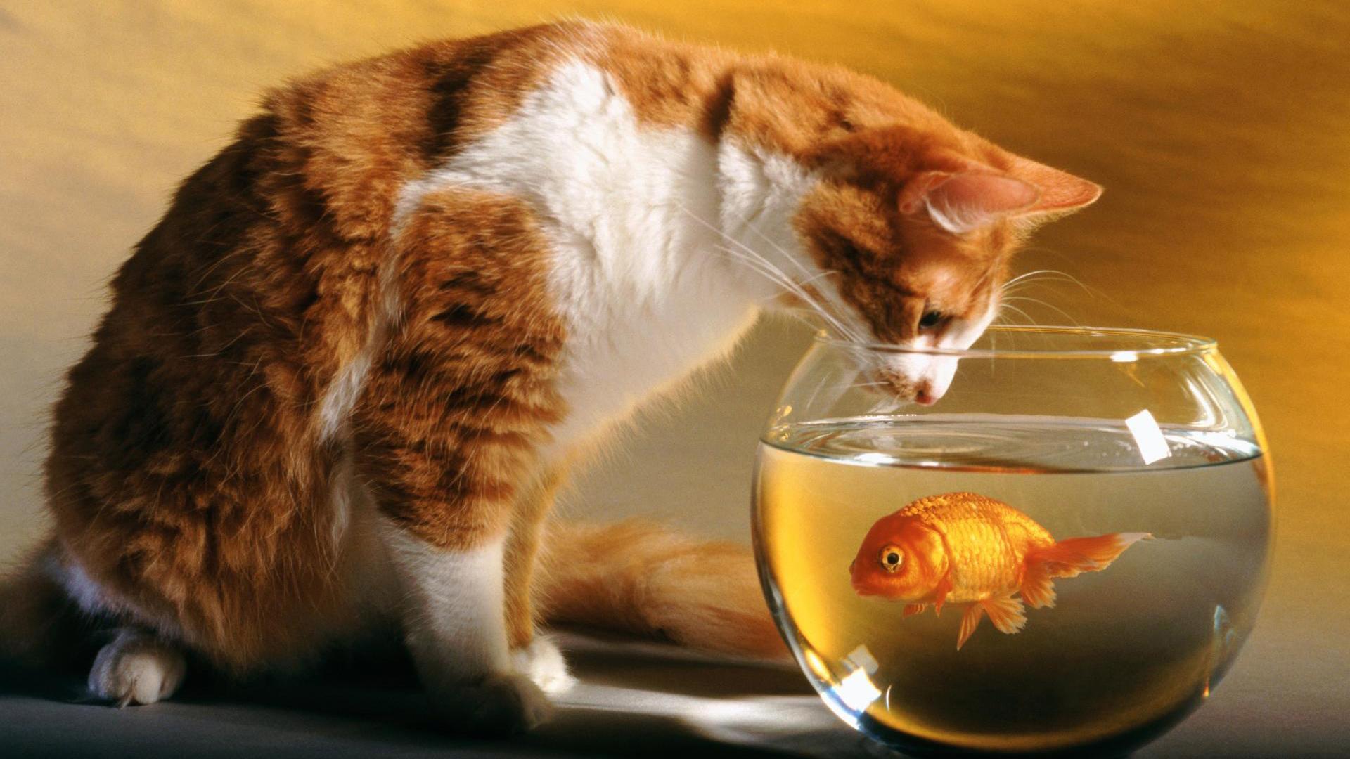 Hd cat wallpaper 621354 for Fish cat 4