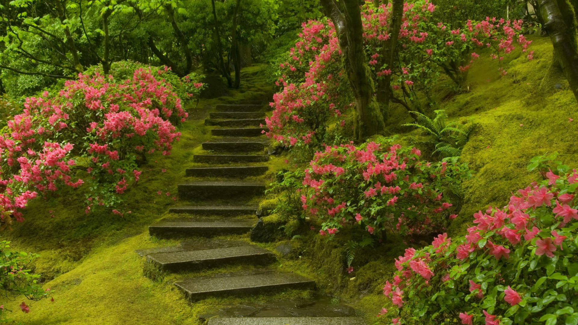 click to free download the wallpaper--landscape photography - Pink Flowers Along the Wet Steps, Fantanstic Walking Experience 1920X1080 free wallpaper download