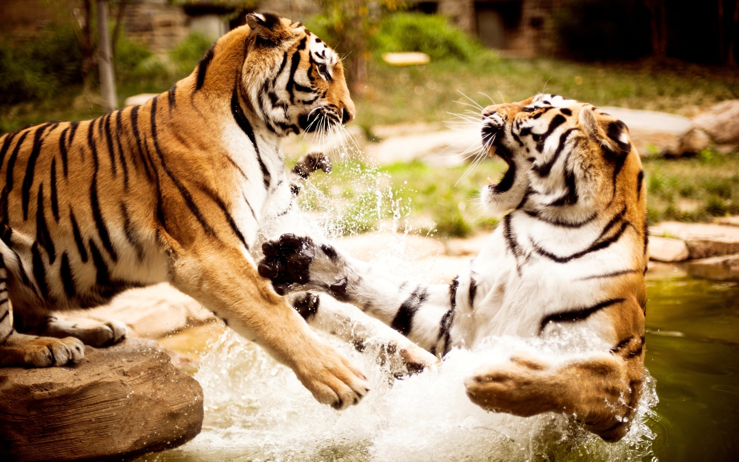 Wallpaper of animal two tigers playing in th water free for Animali desktop