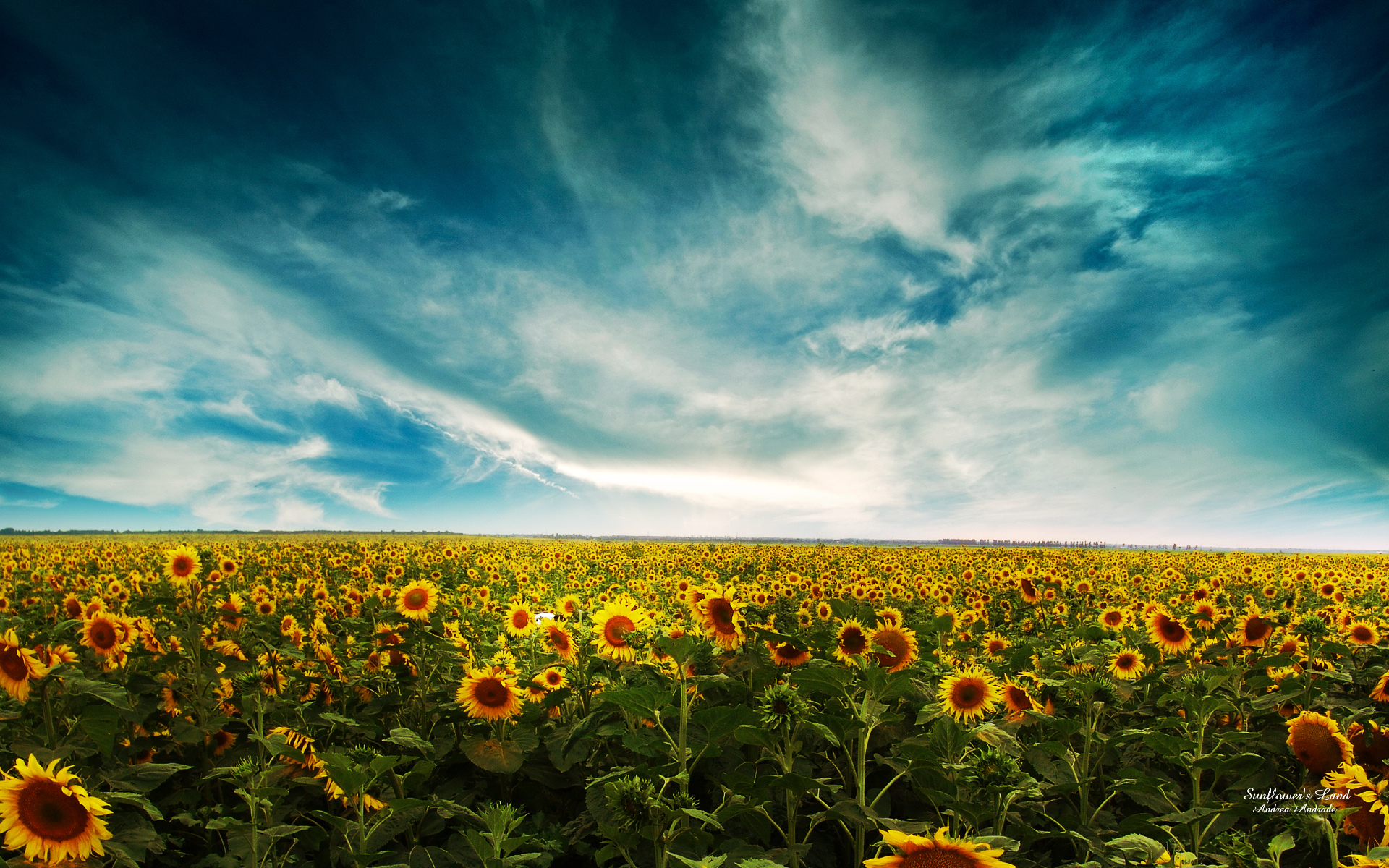 Wallpaper Of Natural Scenery: Sunflowers On A Vast Land