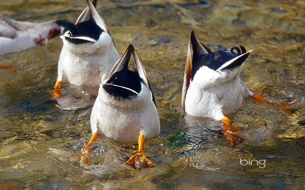 3 Ducks Swimming, Heads Stuck in Water, It is a Fan Scene, Can Make One Burst into Laughter - HD Cute Animals Wallpaper