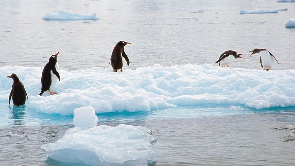 click to free download the wallpaper---5 Penguins on the Ice, Some Playing in Pairs and Other Alone, a Natural Playground - Cute Animals Wallpaper