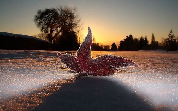 A Fallen Maple Leaf Covered with Newly Fallen Snow, Under the Rising Sun, It Seems As If It Shines - HD Snowy Scene Wallpaper