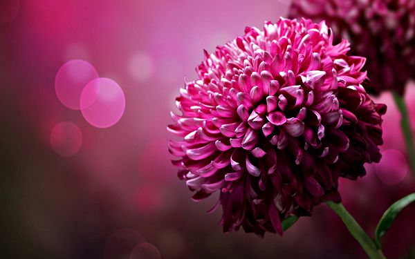A Full Eye of Pink Flowers, Pink Background, Never Running Contrast to Each Other - Chrysanthemum Flower Wallpaper