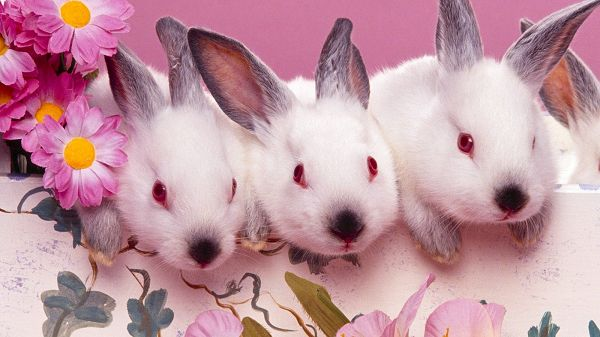 A Line of Cute and Curious Rabbits, All with Red Eyes and White Fur, They are Such an Attraction - HD Cute Rabbites Wallpaper