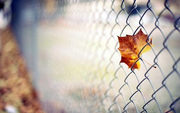 click to free download the wallpaper--A Mere Barbed Wire Unwilling to Let a Yellow Fallen Leaf Go, Wait and You'll Soon be Good to Go - HD Natural Scenery Wallpaper