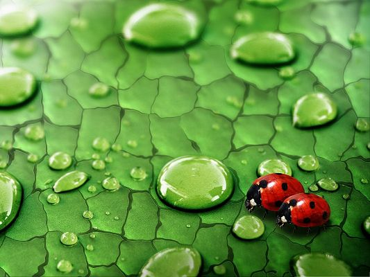 click to free download the wallpaper--A Pair of Ladybugs, Two Close Ladybugs, Approaching Water Drops