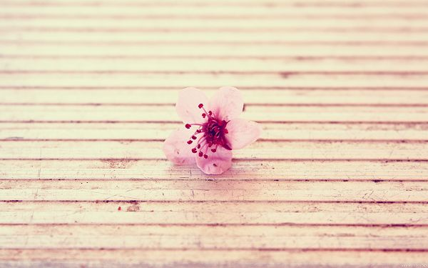 A Pink Little Flower in Bloom, a Clean and Clear World, Shall Add Romantic Atmosphere - Natural Plant Wallpaper
