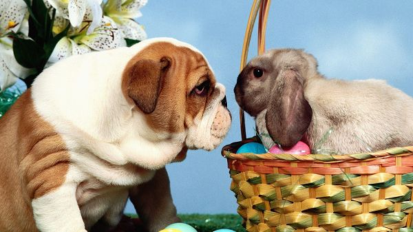 A Rabbit and a Puppy Engaged in a Game, Will Do Everything to Keep Looking in the Eyes, Someone is Losing - Cute Animals Wallpaper