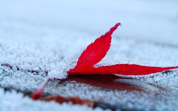 A Red Leaf Falling, Covered with Ice and Snow, the Focus in the Pure and Snowy World - HD Natural Scenery Wallpaper
