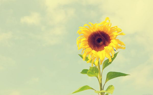 A Sunflower Growing High and Alone in the Sky, Showing Her Optimistic Smile, Attitude is Much Appreciated and Worth Learning - HD Natural Plant Wallpaper