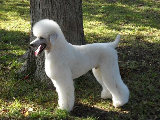 click to free download the wallpaper--Adorable White Poodle