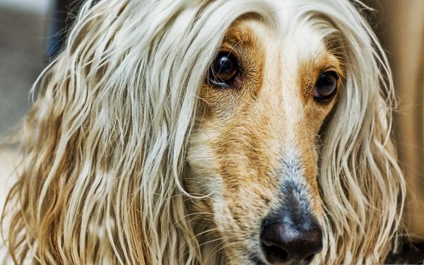 click to free download the wallpaper--Afghan Dog Photos, Long Fur and Mouth, It Strikes Deep Impression