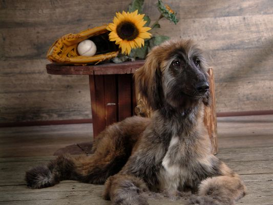 click to free download the wallpaper--Afghan Hound Pic, Shall Guard the Sunflower and Ball At the Master's Absence