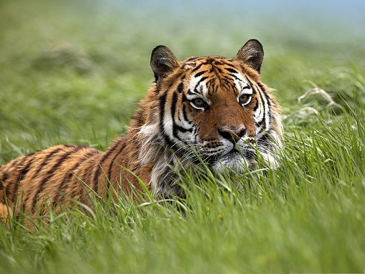 Alert Tiger Pics, Staying in Green Grass, It is Quite Cautious