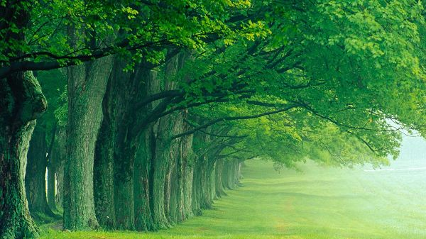 All Green Trees in One Line and Living Toward One Direction, a Favorable Natural Scene, Great for Eye and Environment Protection - HD Natural Scenery Wallpaper