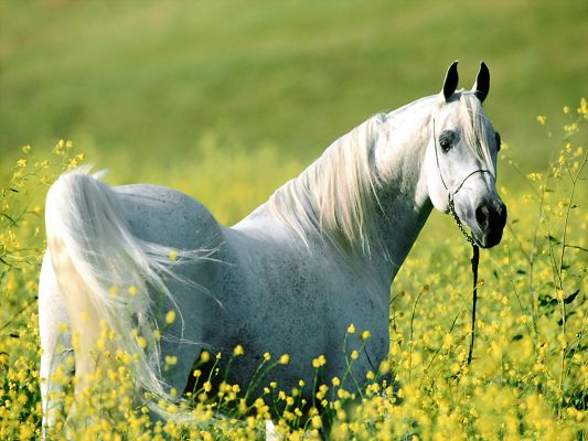 click to free download the wallpaper--Amazing Animal Landscape, a Horse Among a Field of Yellow Flowers, Big Eyes
