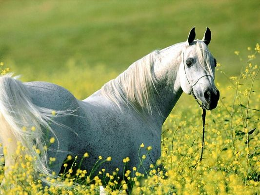 click to free download the wallpaper--Amazing Animals Image, a White Horse Among Yellow Flowers, the Gentleman