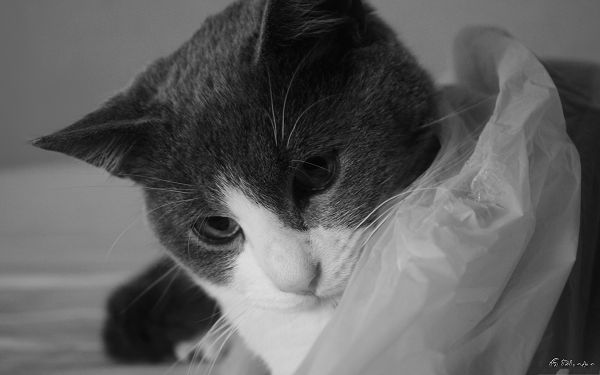 click to free download the wallpaper--Amazing Cat Image, Kitten in Black and White Style, Body Covered with White Cloth
