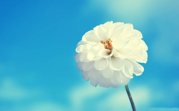 click to free download the wallpaper--Amazing Flowers Picture, White Flower Blooming in the Blue Sky