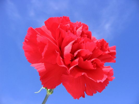Amazing Image of Nature Landscape, a Red Rose in Bloom, the Blue Sky, Incredible Look