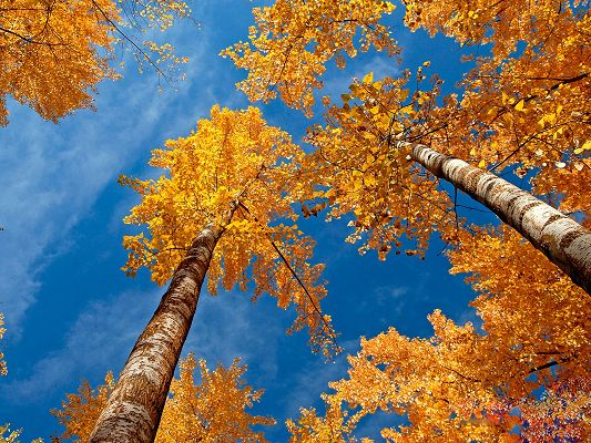 click to free download the wallpaper--Amazing Nature Landscape Image, Tall Trees in Yellow Leaves, the Blue Sky, Autumn Scene