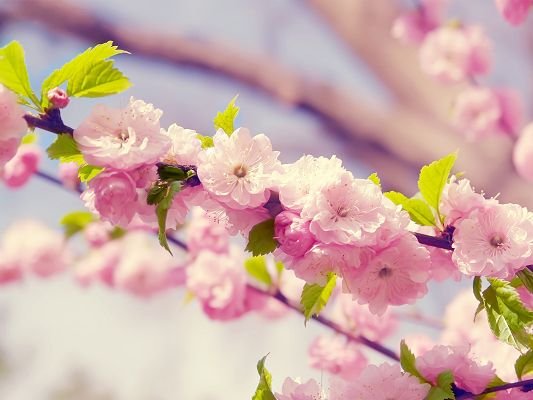 Amazing Nature Landscape of Flowers, Japanese Cherry Blossom, the Symbol of Japan