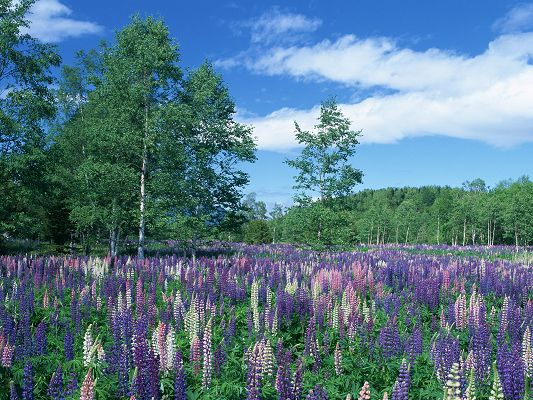 click to free download the wallpaper--Amazing Photos of Nature Landscape, Purple Galde Surrounded by Green Trees, the Blue Sky