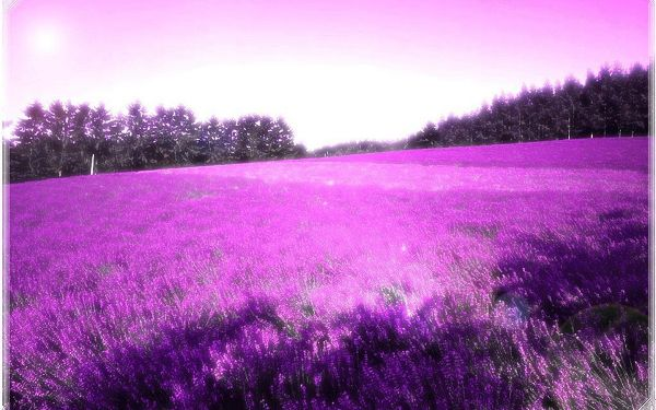 click to free download the wallpaper--An Endless Field of Purple Flowers, the Sky is Even Painted Purple, Easy to Apply, Shall Gain One Decency and Good Look - Natural Scenery Wallpaper