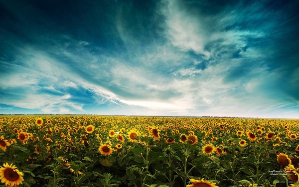 click to free download the wallpaper--An Endless Field of Sunflowers, Sun is Covered and Flowers Thus in Bad Mood, You Can Expect the Smiling Sun Soon Enough - Natural Plant Wallpaper