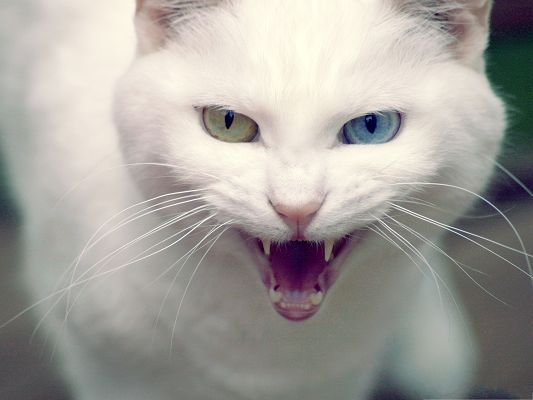 click to free download the wallpaper--Angry Cat Image, Iritated Kitten, Eyes in Different Colors
